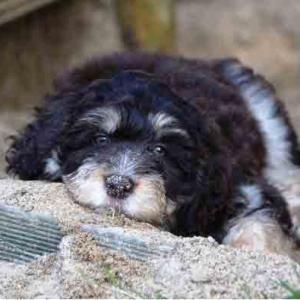 Important Information Aussiedoodle Dog Breed